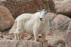 Mountain Goat (oreamnos americanus) amoung the Roc. Ks on Mt. Evans in Colorado Stock Images