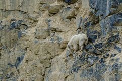 Mountain goat Oreamnos americanus climbing on a small ledge. In Canada royalty free stock images