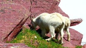 Mountain Goat (Oreamnos americanus) stock video footage