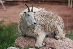 Mountain Goat (Oreamnos americanus) Royalty Free Stock Photo