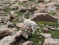 Mountain Goat Oreamnos americanus on Mt. Evans, Colorado. A mountain goat in the Rocky Mountains.  The calendar shows late July, but the goats are just losing Stock Photos