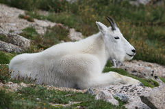 Mountain Goat (Oreamnos americanus). Mountain goat resting on the slopes of Mt. Evans in Colorado Royalty Free Stock Image