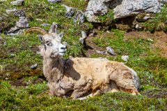Mountain Goat on Parker Ridge in Canadian Rockies. A mountain goat on the summit of Parker Ridge in Jasper National Park in the Canadian Rockies stock photography