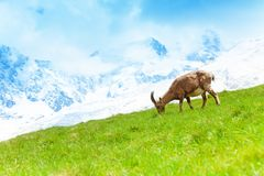 Mountain goat in the pasture. One Chamois grazing on the alpine mountain meadow in Chamonix Stock Photography