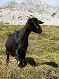 Mountain goat in Picos de Europa, Asturias Royalty Free Stock Image