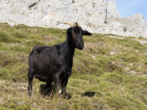 Mountain goat in Picos de Europa, Asturias Royalty Free Stock Photos