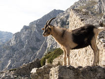 Mountain goat in Picos de Europa, Asturias Royalty Free Stock Images
