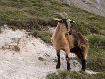 Mountain goat in Picos de Europa, Asturias Stock Photos