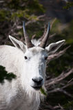 Mountain goat with pine spring in the mouth Stock Images