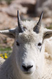 Mountain Goat Portrait. Close up portrait of a young mountain goat Stock Image