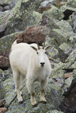 Mountain goat portrait Royalty Free Stock Image