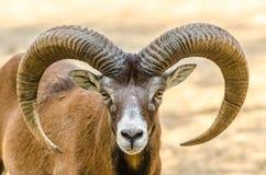 Free Mountain Goat Portrait Stock Images - 33047854