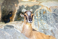 Mountain Goat Portrait Stock Photo