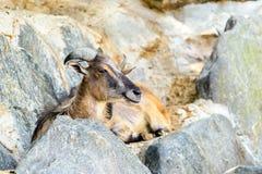 Mountain Goat Portrait Stock Image