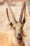 Mountain goat portrait in the National Reserve, Negev,  Israel Stock Photography
