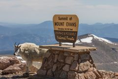Mountain Goat on Mountain Evans Colorado. A mountain goat posing in front of the sign for mount evans colorado stock images