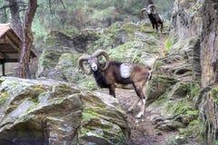 Mountain goat posing Royalty Free Stock Image