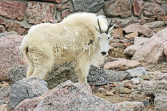 Mountain Goat in profile Stock Photos
