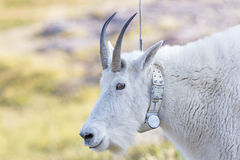 Mountain Goat with a Radio tracking Collar. In Glacier National Park in Montana Stock Photography