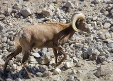 Mountain Goat Ram Walking Royalty Free Stock Photography