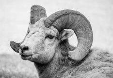 Mountain Goat Ram. Wild mountain goat ram with broken horn in black and white stares right at the camera stock images