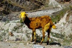 The Mountain Goat Stock Photos