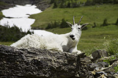 Mountain goat reclining on rocks in Glacier National Park Royalty Free Stock Photography