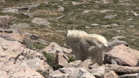 Mountain goat. A regal mountain goat in the Colorado high country on Mount Evans stock video footage