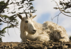 Mountain Goat Resting Stock Image