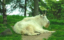 Mountain Goat resting Stock Photography