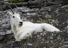 Mountain goat resting on rocks Royalty Free Stock Images