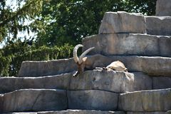 Big Brown Mountain Goat Royalty Free Stock Images
