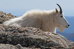 Mountain Goat resting on top of Harney Peak overlooking the Black Hills of South Dakota USA. Mountain Goat resting on top of Harney Peak in Custer State Park in Royalty Free Stock Photo