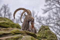 Mountain goat on rock ledge Royalty Free Stock Photo