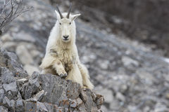 Mountain goat on rock ledge Royalty Free Stock Images