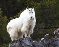 Mountain goat on rock ledge. Mountain goat on high rock ledge royalty free stock photo