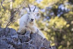 Mountain goat on rock ledge Stock Image