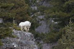 Mountain goat on rock ledge Royalty Free Stock Photos