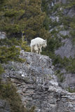 Mountain goat on rock ledge Royalty Free Stock Image