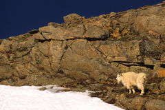 Mountain Goat in Rocks Royalty Free Stock Image