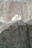 Mountain goat among the rocks and cliffs Stock Photos