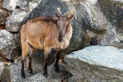 Mountain goat on rocks Stock Images