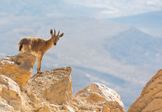 A mountain goat on the rocks Stock Image