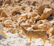 Mountain goat on the rocks Royalty Free Stock Images