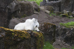 Mountain Goat on Rocks. White mountain goat laying on rocks in Oregon Zoo Royalty Free Stock Images