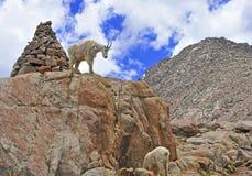 Mountain Goat, Rocky Mountains Royalty Free Stock Photos