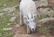 Mountain Goat, Rocky Mountains Royalty Free Stock Photo