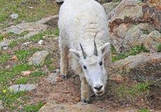 Mountain Goat, Rocky Mountains Royalty Free Stock Photo