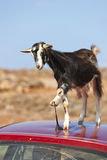 Mountain goat on the roof of car. This mountain goat tried to eat a car antennas Stock Photos
