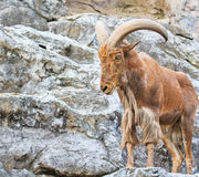Mountain goat Royalty Free Stock Photo